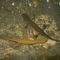 Kleine watersalamander (Lissotriton vulgaris graecus), boven mannetje, onder vrouwtje.