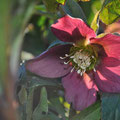 Helleborus orientalis - Photo Anne Lavorel