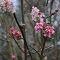 Viburnum x bodnantense - Photo Anne Lavorel