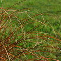 Carex testacea - Photo Anne Lavorel