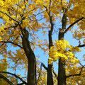 Kleiner Spaziergang 27.10.2015: Dieser Baum sieht nicht nur das Haus Goethestraße 14, sondern er hat auch unter anderen Elvis Preley gesehen.