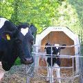 Bauernhof Eifel -Kuh mit Kalb