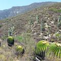 Echinocactusingens