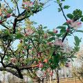 スプレズィアーノの桜 3