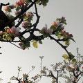 スプレズィアーノの桜 2