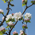 スプレズィアーノの桜 1
