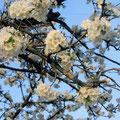 スプレズィアーノの桜 4