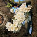 スプレズィアーノの桜 5