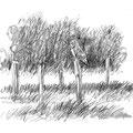 Hibou des marais - Asio flammeus - Rieux