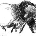 Ours brun - Ursus arctos - Slovénie