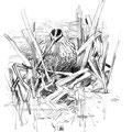 Bécassine des marais - Gallinago gallinago - La Gacilly