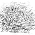 Butor étoilé - Botaurus stellaris - Fegreac