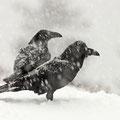 Kolkraben im Schneetreiben / Ravner i snødrev