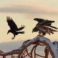 Junger Seeadler und Kolkrabe / Ung havørn og ravn