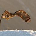 Junger Seeadler / Ung havørn