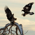 Junger Seeadler und Steinadler / Ung havørn og kongeørn