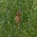 """""""Bambi"""" in der Kräuterwiese"""
