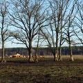 Rinder auf der Winterweide