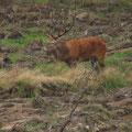 Hirsch in Kiefernneuanpflanzung