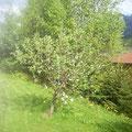 Ein Apfelbaum vor Ihrer Haustüre