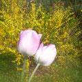 Frühlingboten in unserem Garten