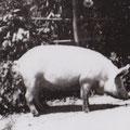 Bacchus, le cochon de Robert François.