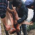 On a tué le cochon à La Citadelle.