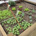 Salat, Kohlrabi, Radieschen, Pflücksalat und Rucola