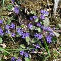 キランソウ 発色がとてもよく紫が陽に輝いていました
