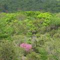 新緑とミツバツツジ