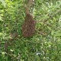 Bienenschwarm - © Thomas Kruschina