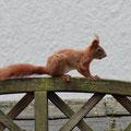 Eichhörnchen im Garten / European Red Squirrel - keine 5m weg - © Thomas Kruschina