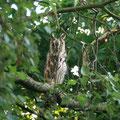Ein Uhu im Garten / An eagle owl - © Thomas Kruschina
