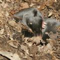 Junge Maulwürfe / Young moles - © Thomas Kruschina