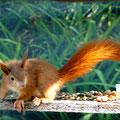 Junghörnchen: Sobald der Schwanz sich scheitelt und buschig wird, werden die Jungen unabhängig