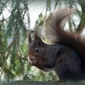 Erwachsenes Tier: 300 bis 400 Gramm schwer, schnell und flink, buschiger Schwanz
