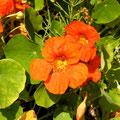 Kapuzinerkresse bringt Farbe ins Spiel
