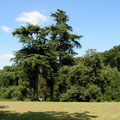 Zedern Eichen und Nussbäume im stolzen Alter