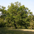 alter Nussbaum