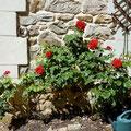 im Sommer duften die roten Rosen