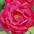 Rosen sind der Stolz des Loiretals