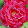 a typical rose of the Loire Valley