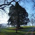the oldest tree of the park of Domaine de Joreau - a sequoia
