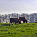 Galloway-Rinder mit viel Auslauf in der Geltinger Birk