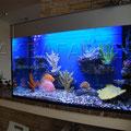 Пресноводный аквариум с рыбами-попугаями