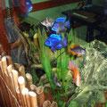 Пресноводный аквариум с африканскими цихлидами