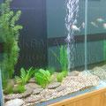 Пресноводный аквариум с золотыми рыбками в офисе банка