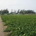 内畑には昔ながらの五郎島が残っています