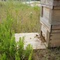 この蜜蜂たちが受粉に勤しんでくれるのです