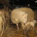 un agneau vient de naître